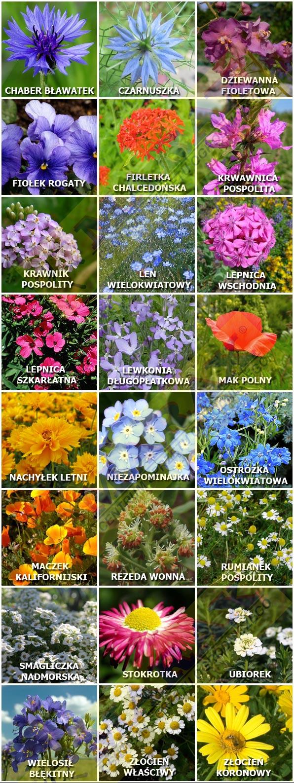 Kwiaty - 24 gatunki kwiatów w Łąka Kwietna GRAMINEX - MARAX